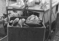 Unloading tuna from fishing vessel Photo