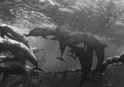 Porpoises captured in tuna seine net Photo