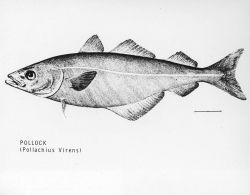 Drawing of pollock (Pollachius virens) Photo