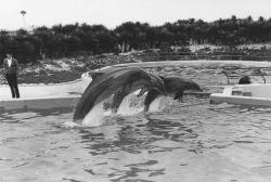 Dolphins performing at Marineland of Florida Photo