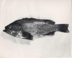 Rockfish, species indeterminate Photo