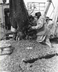 A 2,000 pound catch of pink shrimp (Pandalus borealis) is dumped on deck of the Soviet Research Vessel KRILL during cooperative shhrimp research off A Photo