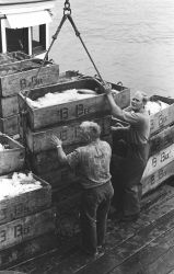 Unloading salmon at the Bumble Bee Company dock Photo