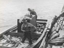 Salmon being transferred to large boat on which they are iced and hauled to cannery. Photo