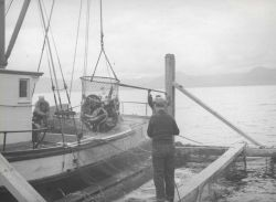 Brailing salmon from fish trap Photo