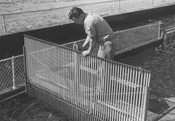 Operating the mechanical fish crowder Photo