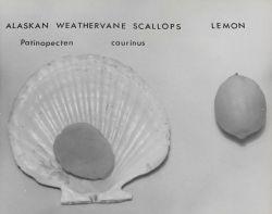 Alaskan weathervane scallop (Patinopecten caurinus) Photo