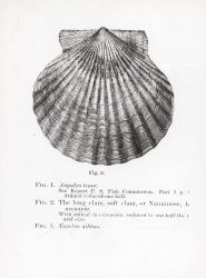 Bay scallop (Pecten irradians) drawing Photo