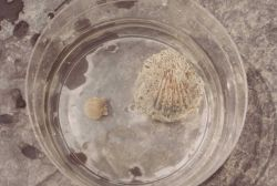 Scallops in a sample dish at the Franklin City BCF Laboratory Photo