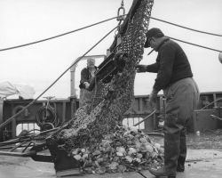Dumping catch of a sea scallop dredge on deck of ALBATROSS IV Photo