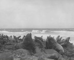 Bull steller sea lions one week before height of breeding season Photo
