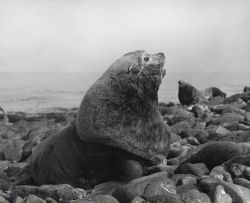 Bull steller sea lion Photo
