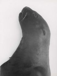 Head and shoulder of young Steller sea lion Photo