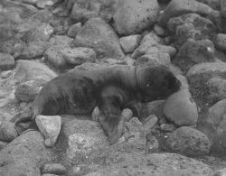 Tagged sea lion pup Photo