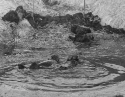 Captive sea otters at Crown Reefer Camp Photo