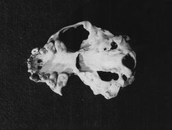 Sea otter skull showing caries in teeth of upper jaw Photo