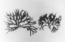 Unidentified marine algae Photo