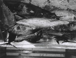 23 yellowfin tuna weighing 2960 pounds at the De Jean Packing Co. Photo