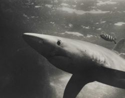 Blue shark (Prionace glauca) and banded rudderfish Photo