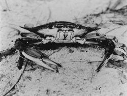 Blue crab Photo