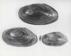 Fresh-water mussels (Anodonta oregonensis) Photo