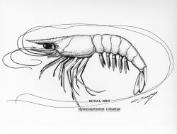 Royal red shrimp drawing (Hymenopenaeus robustus) Photo