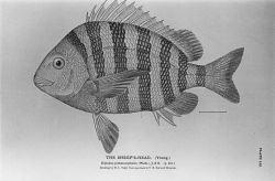 Sheepshead (Archosargus probatocephalus) from drawing by H Photo
