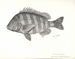 Sheepshead (Archosargus probatocephalus) from drawing by G Photo