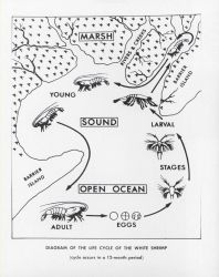 Diagram of the life cycle of the white shrimp Photo