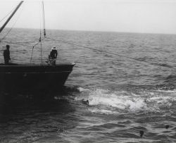 Spinner or large blacktip sharks, some 7-footers, follow a shrimp boat to feed on bycatch thrown overboard during shrimping operations Photo