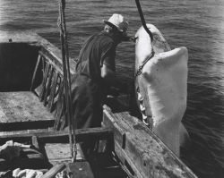 A commercial fisherman off the east coast of Florida preparing to remove the hook from the jaw of a 12-foot tiger shark Photo