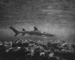 White-tip shark Photo