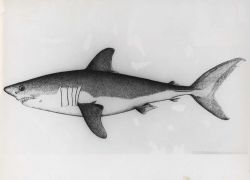 Drawing of salmon shark, also known as porbeagle Photo