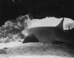Nurse shark Photo