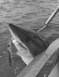 Mako shark caught on rigged eel off Nomans Island Photo