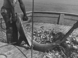 Hammerhead shark taken in shrimp otter trawl Photo