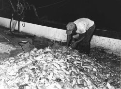 Sorting shrimp catch aboard the CAPTAIN FRANKIE Photo