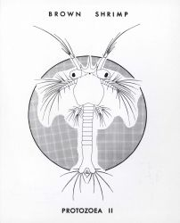 Line drawing of brown shrimp protozea II Photo
