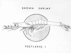 Line drawing of brown shrimp postlarava I Photo