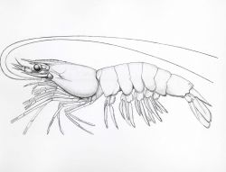 The white shrimp (Penaeus setiferus) drawing after Rathbun Photo