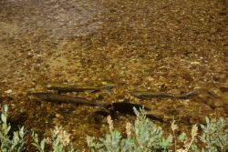 Chinook salmon spawners in the Elk Creek Tributary of Bear Valley Creek, a tributary of the Salmon River Photo
