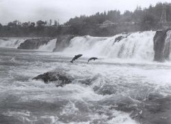 Salmon leaping at Willamette Falls Photo