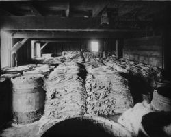Halibut ready for shrinking and drying, Hanson & Sons, Gloucester, MA, 1882. Photo