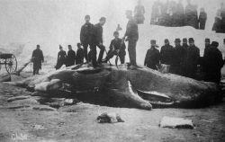 Sperm whale stranded. Photo