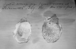 Oysters average size, 1 year, grown at LA, Doc Photo