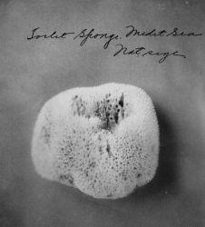 Toilet sponge, Mediterranean Sea, natural size. Photo