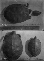 Terrapins, adult male and female and brood. Photo
