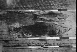 Two mature sockeye salmon showing contrast in size, the larger weighing 11 lbs, and the smaller 1.25 lbs. Photo