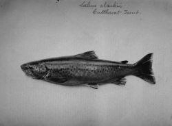 Cutthroat trout. Photo