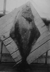 Halibut. Photo